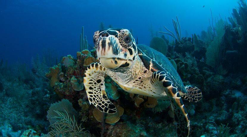 Το πανάρχαιο αυτό ζώο, από την εποχή των δεινοσαύρων, η Χελώνα