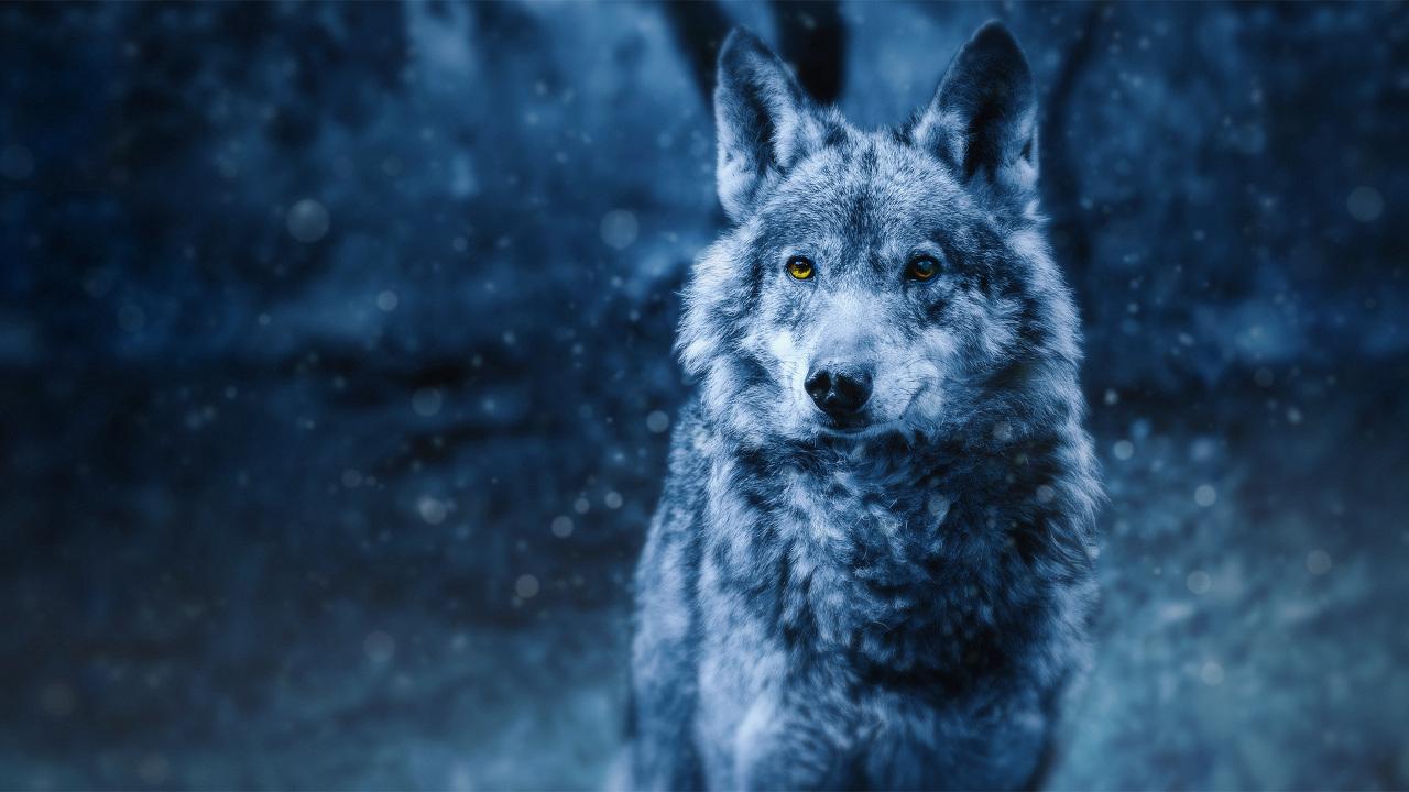 Ένας γκρι άγριος λύκος