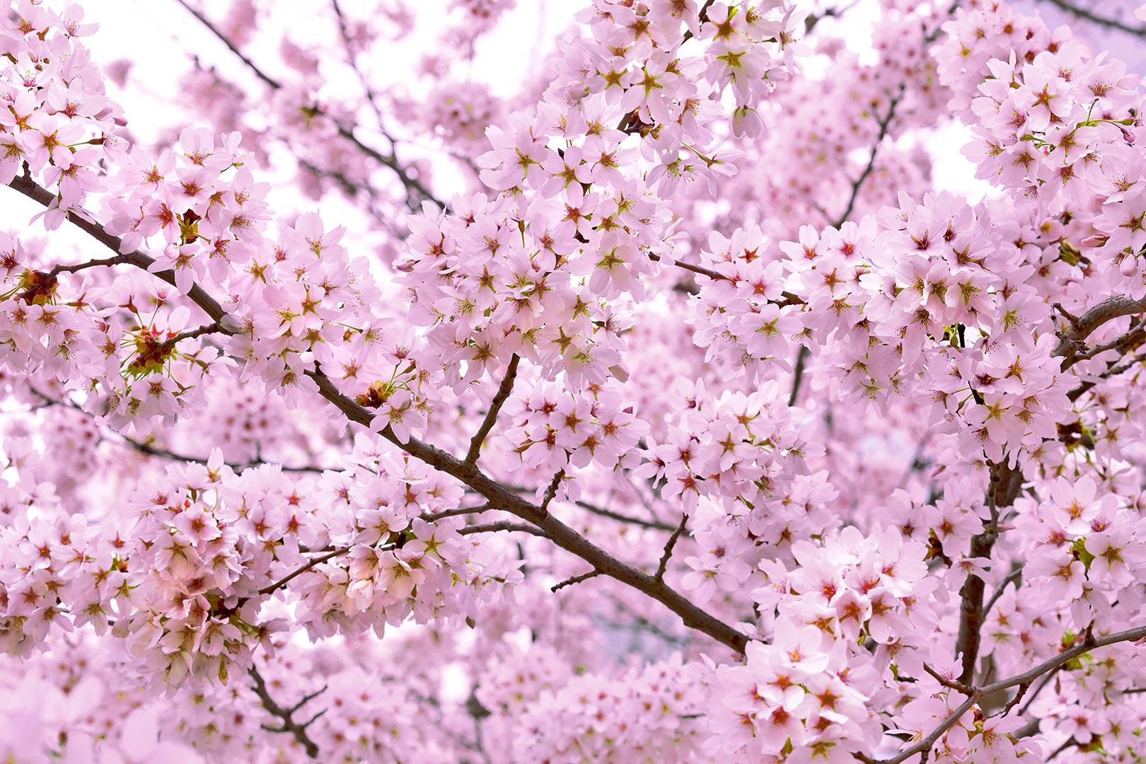 Το δέντρο που φέρνει την άνοιξη, η Αμυγδαλιά